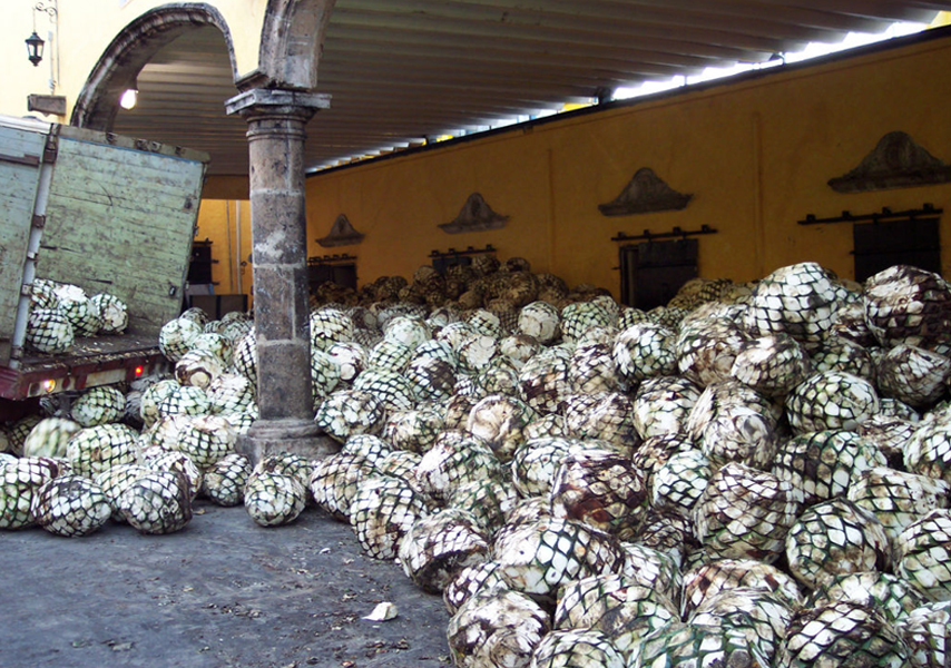 A days work, briging in agave from the fields to be turned into sweetener.